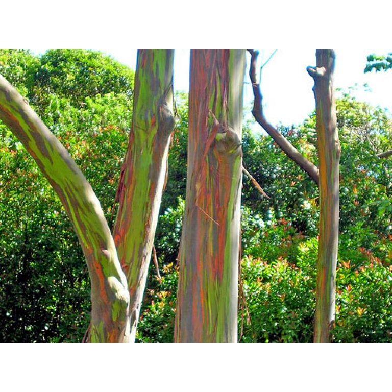El eucalipto arcoiris.
