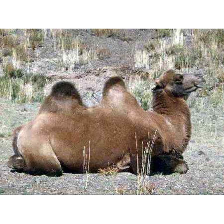 ¿Por qué los camellos tienen jorobas?