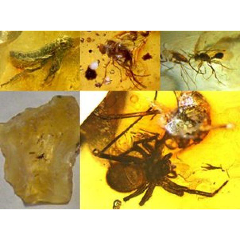 Descubren en Perú  4 especies de insectos y una de araña fosilizadas en ámbar