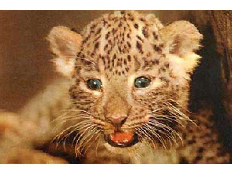Jaguar autóctono nació en Pan de Azúcar